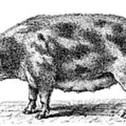 Swine Poster