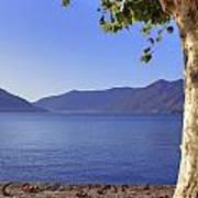 sycamore tree at the Lake Maggiore Poster