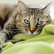 Tabby Cat On Green Blanket Poster