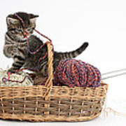 Tabby Kitten Playing With Knitting Wool Poster