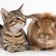 Tabby Kitten With Rabbit Poster