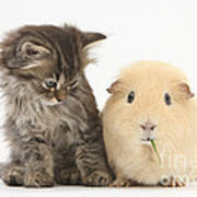 Tabby Kitten With Yellow Guinea Pig Poster