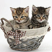 Tabby Kittens In A Basket Poster