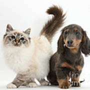 Tabby-point Birman And Dachshund Pup Poster