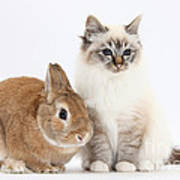 Tabby-point Birman Cat And Rabbit Poster
