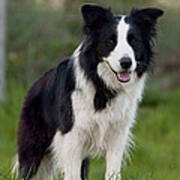 Taj - Border Collie Poster by Michelle Wrighton