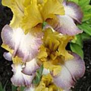 Tall Bearded Iris Named Butterfingers Poster