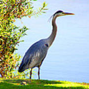 Tall Grey Heron Poster