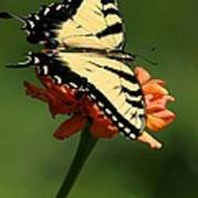 Tantalizing Tiger Swallowtail Butterfly Poster