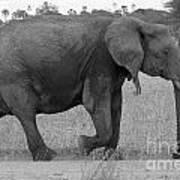 Tarangire Elephant On Road Poster