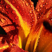 Tawny Daylily And Raindrops Poster