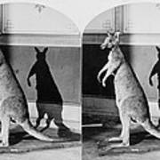 Taxidermy, Kangaroo, Philadelphia Poster