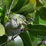 Tennesse Warbler Eating Mangrove Poster