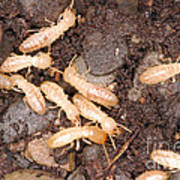 Termite Nest Reticulitermes Flavipes Poster by Ted Kinsman