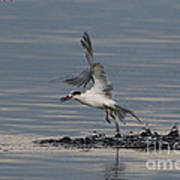 Tern Emerging With Fish Poster