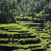 Terraced Rice Fields On Bali Island Poster