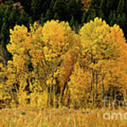 Teton Autumn Foliage Poster