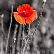 Texas Hot Poppy With Black And White Poster by Linda Phelps