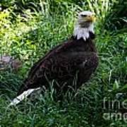 The American Bald Eagle IIi Poster