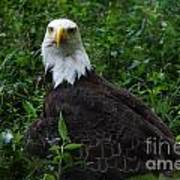 The American Bald Eagle Iv Poster
