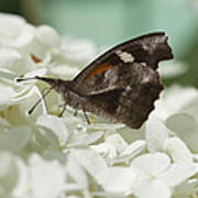 The American Snout - Libytheana Carinenta Poster