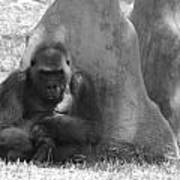 The Angry Ape In Black And White Poster