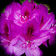 The Beautiful Rhododendron Poster
