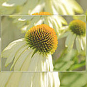 The Beauty Of The Coneflower Poster