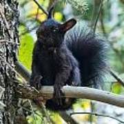 The Black Abert's Squirrel Poster
