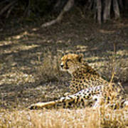 The Cheetah Wakes Up Poster