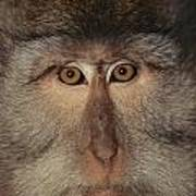 The Face Of A Long-tailed Macaque Poster