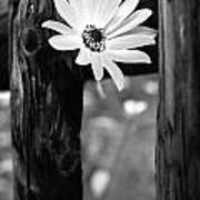 The Flower Bw Poster