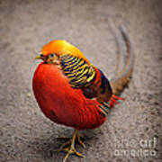 The Golden Pheasant Poster