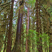 The Hoh Rain Forest Poster