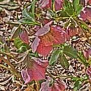 The Lenten Rose Poster
