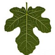 The Mission Fig Leaf Poster