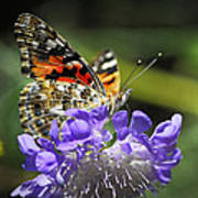 The Painted Lady Butterfly  Poster