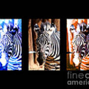 The Three Zebras Black Borders Poster