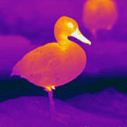 Thermogram Of A Cinnamon Teal Duck Poster