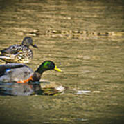 Thin Ice Wet Duck Poster