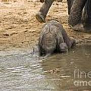 Thirsty Young Elephant Poster