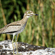 This Is Botswana No.  5 - Water Thick-knee Poster