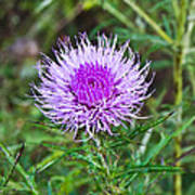 Thistle Dew 1 Poster
