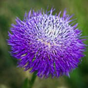 Thistle I Poster by Tamyra Ayles