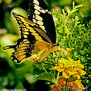 Thoas Swallowtail #1 Poster