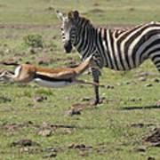 Thomson's Gazelle Running At Full Speed Poster
