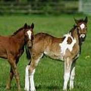Thoroughbred Foal And Half-breed Poster