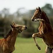 Thoroughbred Foals Playing Poster