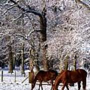 Thoroughbred Horses, Mares In Snow Poster
