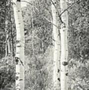 Three Aspen Trees Poster
